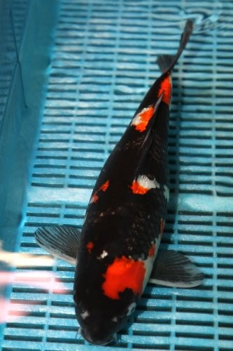 Showa Japan Koi  38 cm