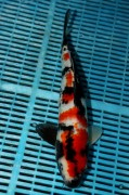 Showa Original Japan Koi  40 cm